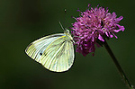 Large / Cabbage White Butterfly, Pieris brassicae, side view of wings, resting on scabious pink flower, Provence .France....