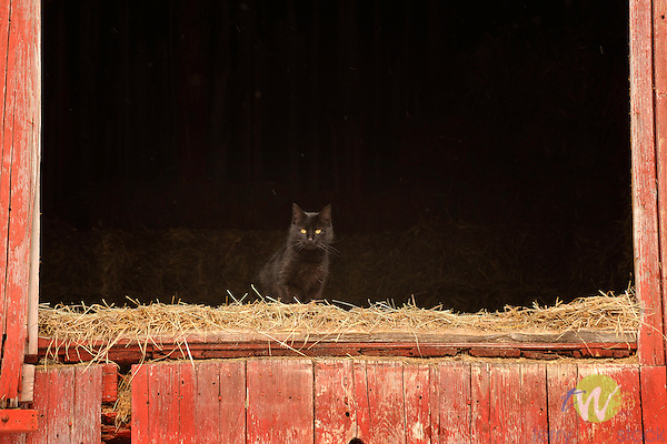 Black cat in hay loft. Nuvine Farm, Salladasburg, PA.