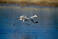 Sandhill Crane, take-off on ice. Bosque del Apache NWR