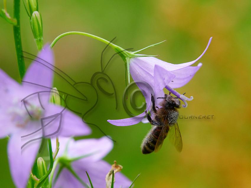 A bee with its head and thorax covered in pollen forages a spreading bellflower.<br /> Une abeille avec la t&ecirc;te et le thorax couverts de pollen butine une fleur de campanule des bois.