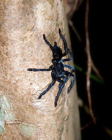 """Sulawesi Black"" (Cyriopagopus sp), should rather be called ""Sulawesi Grey Velvet"" as it has a vibrant grey velvety appearance when freshly molted. It is a large arboreal tarantula nesting in the subfamily Ornithoctoninae."