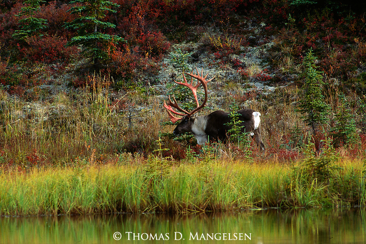 Portrait of a bull caribou on a September morning in Denali National Park, Alaska.