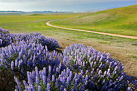 Interior Bush Lupine (Lupinus albifrons). with dirt road Carrizo Plain. California