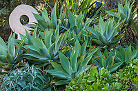 Agave attenuata Fox Tail Agave succulents in Patrick Anderson Garden