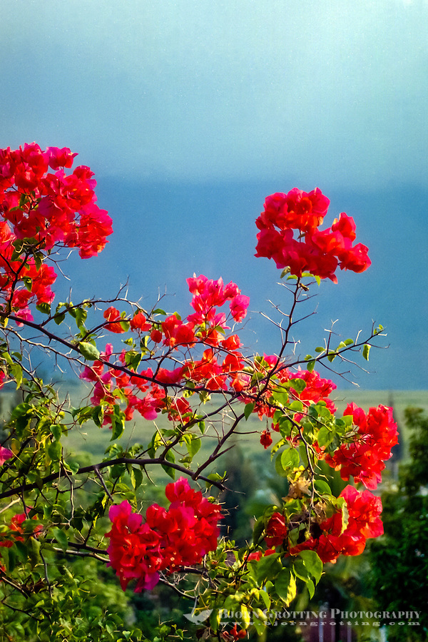 Indonesia, Sumatra. Samosir. Red flowers on Tuk Tuk, name unknown.