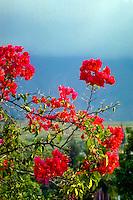 Indonesia, Sumatra. Samosir. Red flowers on Tuk Tuk, name unknown.