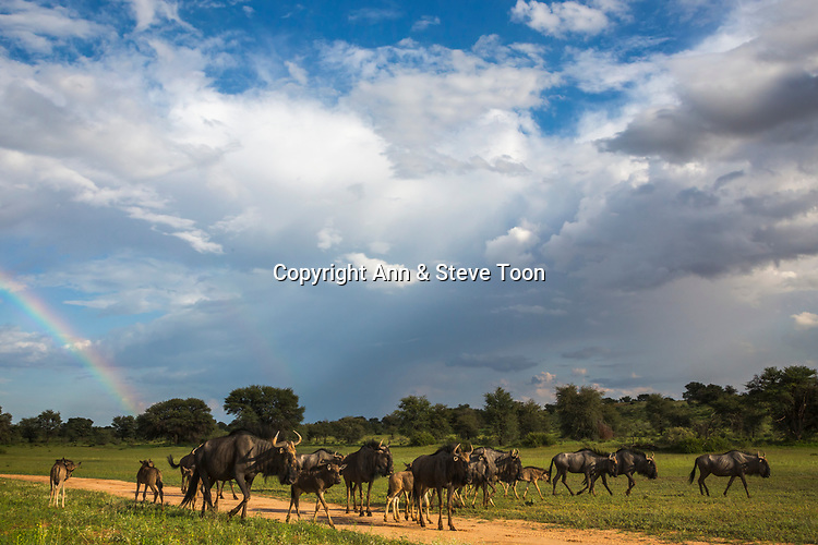 Common (blue) wildebeest (gnu), (Connochaetes taurinus) herd in wet season, Kgalagadi Transfrontier Park, Northern Cape, South Africa, February 2017