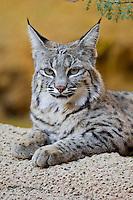 BOBCAT (Lynx rufus or Felis rufus).  Desert, American Southwest.