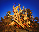 USA, California, White Mountains.   Bristlecone Pines at Sunset