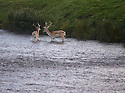 24/08/16<br /> <br /> As dawn breaks over the Chatsworth estate, Fallow deer cool-off in the river Derwent as it flows through the Derbyshire Peak District ahead of the hottest day of the year.<br /> <br /> <br /> All Rights Reserved, F Stop Press Ltd. +44 (0)1773 550665