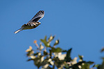 Rose Canyon, San Diego, California; a fledgling white-tailed kite practices flying soon after leaving the nest