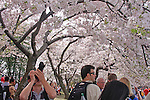 Tourists enjoying the cherry blossoms blooming in Washington, DC. U.S.