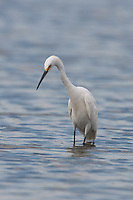 Snowy Egret (Egretta thula), East Pond, Jamaica Bay Wildlife Refuge