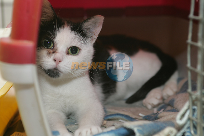 Black and White Cat in Drogheda Animal Rescue, Scholes Lane...Photo NEWSFILE/Jenny Matthews.(Photo credit should read Jenny Matthews/NEWSFILE)....This Picture has been sent you under the condtions enclosed by:.Newsfile Ltd..The Studio,.Millmount Abbey,.Drogheda,.Co Meath..Ireland..Tel: +353(0)41-9871240.Fax: +353(0)41-9871260.GSM: +353(0)86-2500958.email: pictures@newsfile.ie.www.newsfile.ie.FTP: 193.120.102.198.