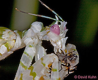 "0406-07oo  Spiny Flower Mantis (#9 Mantis) - Pseudocreobotra wahlbergii ""Female"" - © David Kuhn/Dwight Kuhn Photography"
