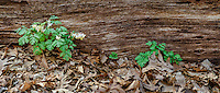 Dutchman's Breeches grow up besides a log on the forest floor at Ryerson Woods Conservation Area in Lake County, Illinois