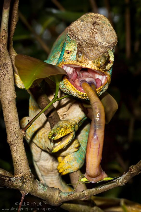 Parson's Chameleon male {Calumma Parsonii} catching grasshopper with extendable tongue. Madagascar.