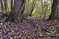 Ancient woodland boundary, Stoke Wood, Oxfordshire