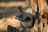 Kaibab Squirrel (Sciurus aberti Kaibabensis).   North Rim Grand Canyon National Park