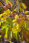 12863-CS American Persimmon, Diospyros virginiana, branch of female tree with fruit, in fall color, October, at Mourning Cloak Ranch, Tehachapi, CA USA.