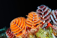 Christmas tree worm, Spirobranchus giganteus,Bonaire, Caribbean Netherlands, Caribbean