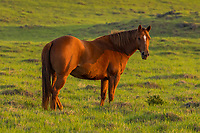 "A brown horse is cast in the ""golden hour"" light of the time leading into sunset, Waimea, Big Island of Hawai'i."