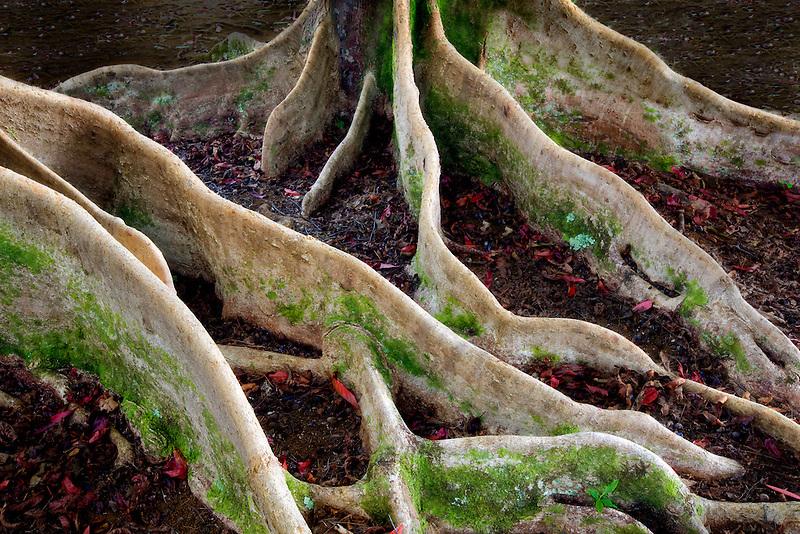 Roots of fig tree, ficus tree (Ficus macrophylla). Kauai, Hawaii