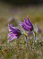 PASQUEFLOWER Pulsatilla vulgaris (Ranunculaceae) Height to 25cm. Perennial of dry, calcareous grassland. FLOWERS are purple, bell-shaped with 6 petal-like sepals; upright at first, then nodding (Apr-May). FRUITS comprise seeds with long silky hairs. LEAVES are divided 2 or 3 times and comprise narrow leaflets. STATUS-Rare and restricted to a few sites in S and E England.