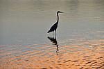Yala National Park Sri Lanka<br /> Grey Heron