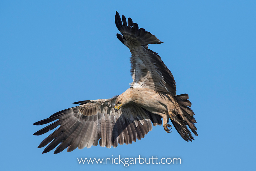 Adult tawny eagle (Aquila rapax) in flight. Coming into land on carcass / kill, scavenging. Short grass plains near Ndutu, Ngorongoro Conservation Area / Serengeti Tanzania.