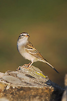 Chipping Sparrow, Spizella passerina, adult, Uvalde County, Hill Country, Texas, USA, April 2006