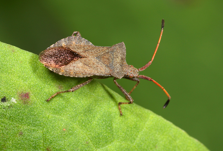 Dock Bug - Coreus marginatus