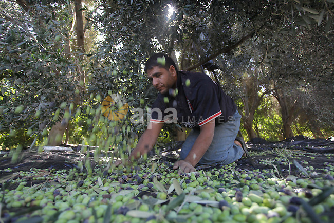 A Palestinian farmer sorts olives at an olive orchard in Gaza City, 20 October 2013. Regional farmers are harvesting their olives this year from mid-October until 01 November. According to figures issued by the United Nations some 80,000 Palestinian families earn their income from growing olives in plantations which reportedly occupy about 48 per cent of the agricultural land in the West Bank and Gaza strip. About 93 per cent of the olive harvest pressed to oil with the rest being used in soap production. Photo by Ashraf Amra