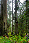 Redwoods, Prairie Creek Redwoods State Park, California