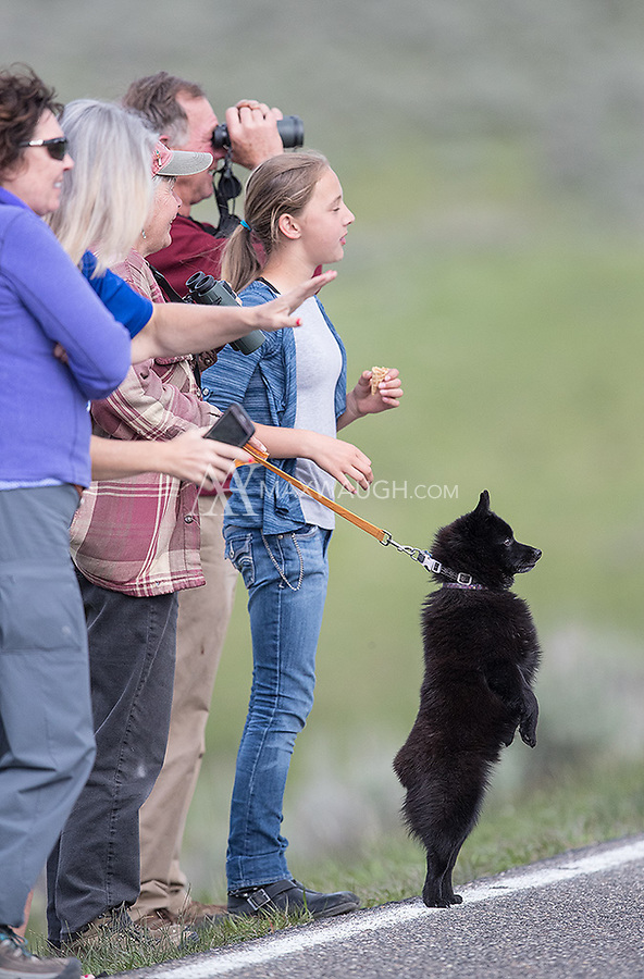 Everyone is interested in seeing a badger in Yellowstone!