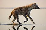 Spotted hyena (Crocuta crocuta) running in shallow water of Lake Nakuru, Lake Nakuru National Park, Kenya