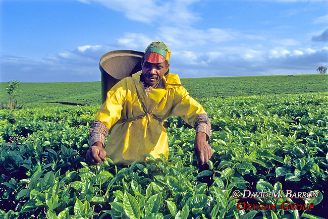 Tea Worker & Fields