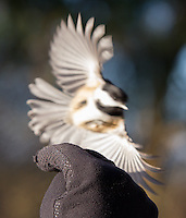 Black-capped chickadees are commonly seen at Reifel Bird Sanctuary.  Though we did not feed the birds, they are commonly fed by visitors who can purchase bird seed at the gate.
