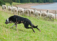 Sheepdog working with Mule ewes at the side of Derwent Reservoir, Derbyshire.