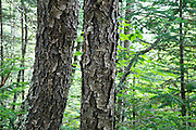 Black Cherry - (Prunus serotina ehrh) tree - during the summer months in Albany, New Hampshire USA