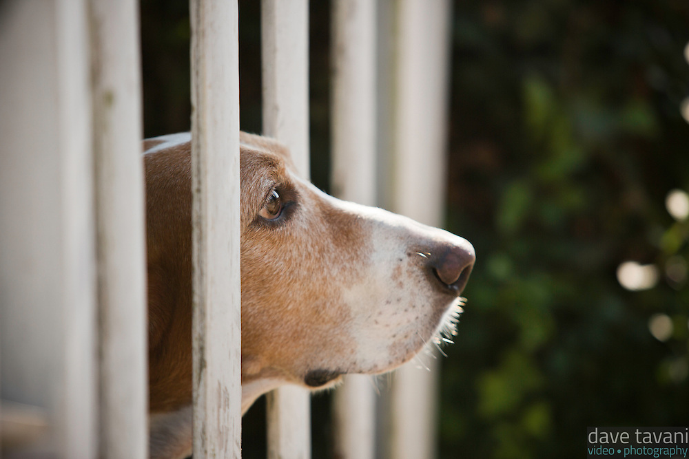 Our basset hound, Elwood, looks through the fence in our front yard.