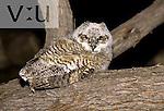 Great Horned Owl (Bubo virginianus) Arizona, USA.