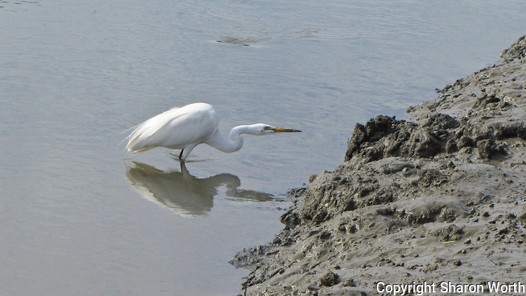 A Great egret prowls the muddy banks at the Hayward Marsh near the Hayward Shoreline Interpretive Center.