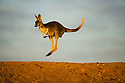 Australia,  NSW, Sturt National Park; red kangaroo (Macropus rufus) hopping over sand ridge at sunrise; the red kangaroo population increased dramatically after the recent rains in the previous 3 years following 8 years of drought