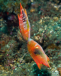 "Near the end of our dive, we came across a large ""field"" of wrasses, all fighting one another among the rubble at the bottom of the Lembeh Strait, North Sulawesi, Indonesia.  The wrasses would dart around the bottom until, suddenly, two would lock their jaws to wrestle for a few moments.  Then the two would part, and each would rocket and dive along the bottom, apparently seeking another competitor."