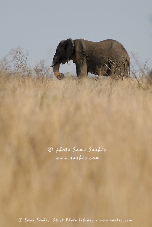Photo of african Elephant (Loxodonta africana) in the savannah, South Africa, Kruger National Park