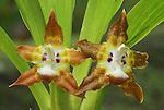 Orchid flowers (Maxillaria), Costa Rica.