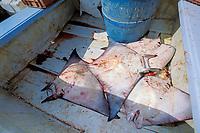 mobulas in fisherman's panga by catch of no market value, shark fishery, Bahia de la Paz, Baja, Mexico, Pacific Ocean