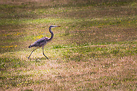 With its long, spindly legs, a Great Blue Heron strides across the grassy area adjacent to Arrowhead Marsh at Martin Luther King Jr. Regional Shoreline, searching for food in an area rife with ground squirrels and other rodents.  From the whatbird.com website:  They eat mainly fish but will also eat other small animals. They have been known to choke to death on prey that is too large.