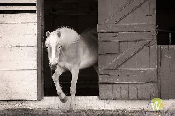 Horse in stable barn door.
